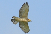 broad-winged-hawk