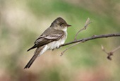 eastern-wood-pewee