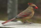 female-northern-cardinal