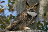 great-horned-owl