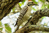 ladder-backed-woodpecker