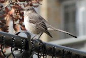 northern-mockingbird