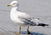 ring-billed-gull
